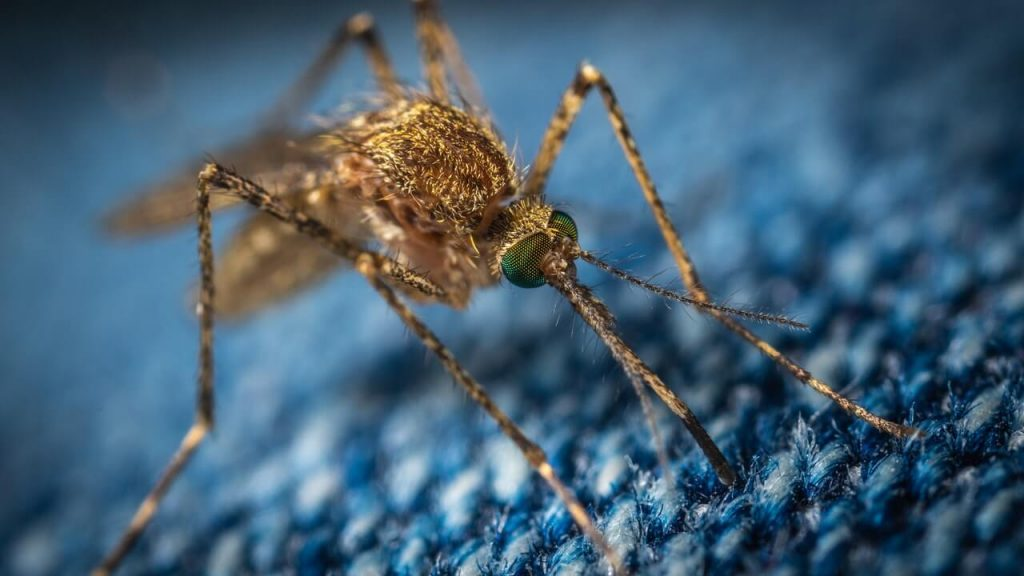 Dengue mosquito biting on a blue surface