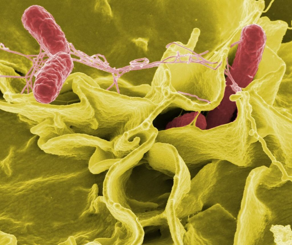 Salmonella Bacteria illustration
