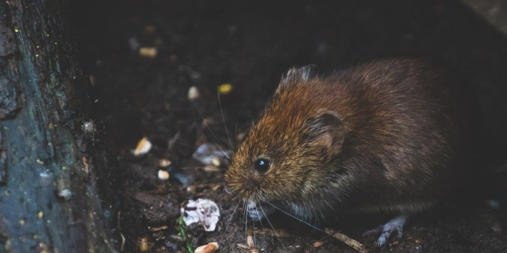 Image of a brown rodent rat